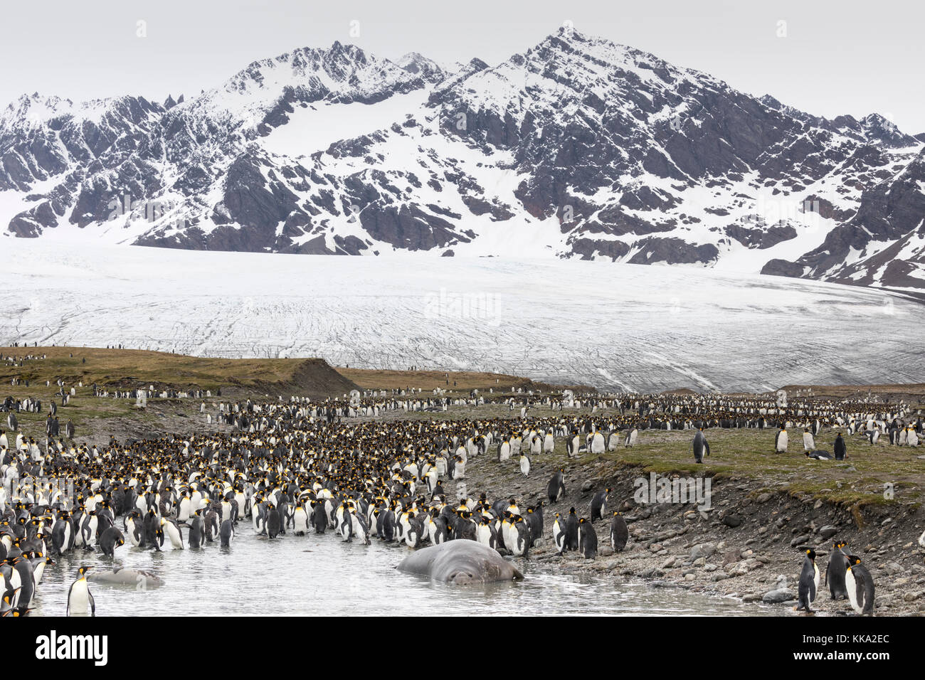 Elephant seals and king penguins at St Andrew's Bay, South Georgia Island - Stock Image