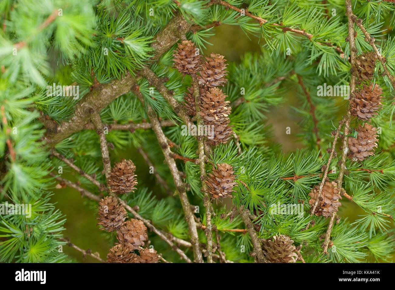 Europäische Lärche, Larix decidua, Zweig mit Zapfen, European Larch - Stock Image