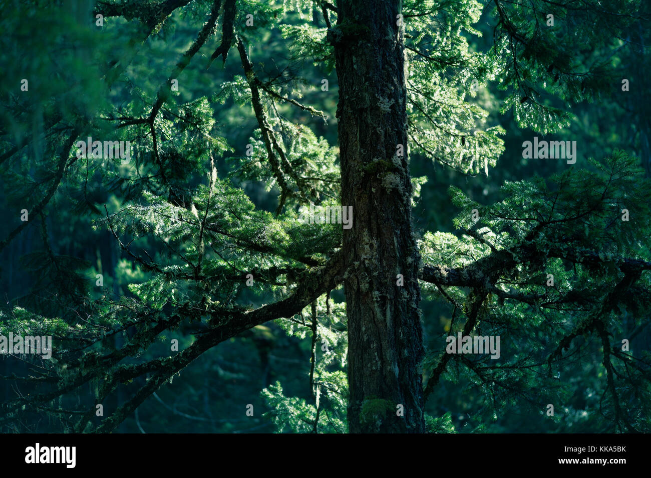 Closeup of Duglas fir tree branches glowing in sunlight in deep green forest. Vancouver Island, British Columbia, - Stock Image