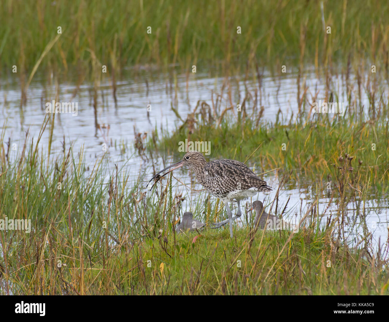Curlew, Numenius arquata, with a crab in Morecambe Bay, Lancashire, UK Stock Photo