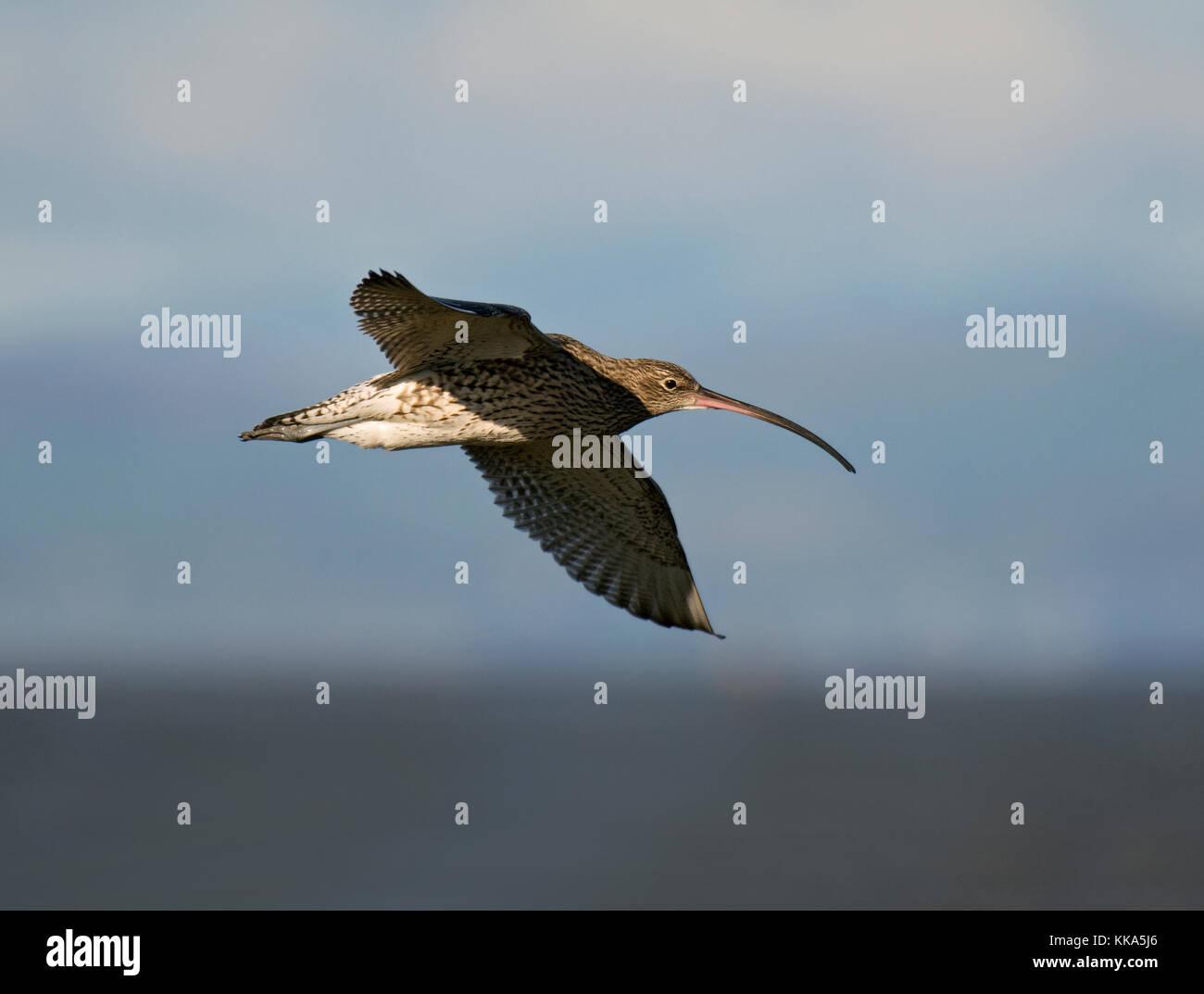 Curlew, Numenius arquata, in flight, Morecambe Bay, Lancashire, UK Stock Photo