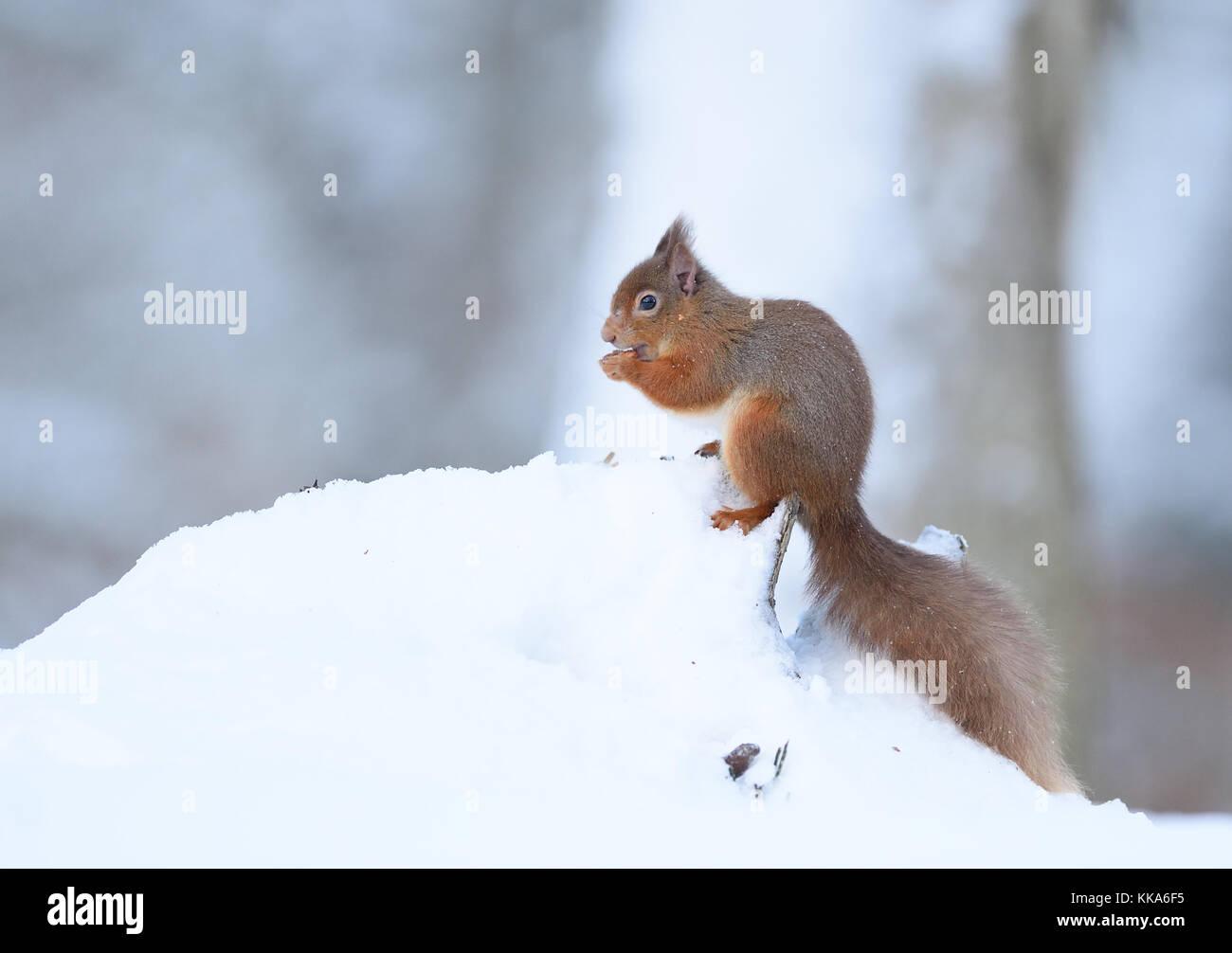 Scottish Winter Wildlife - Stock Image