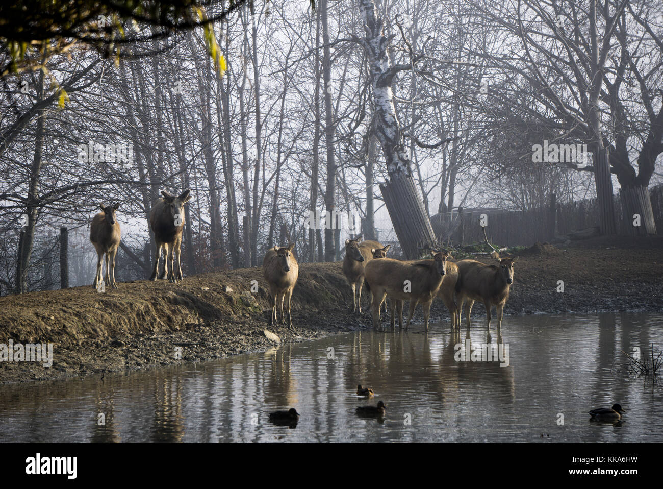 Milu deers at the watering hole inside the zoo. The species is extinct in the wild - Stock Image