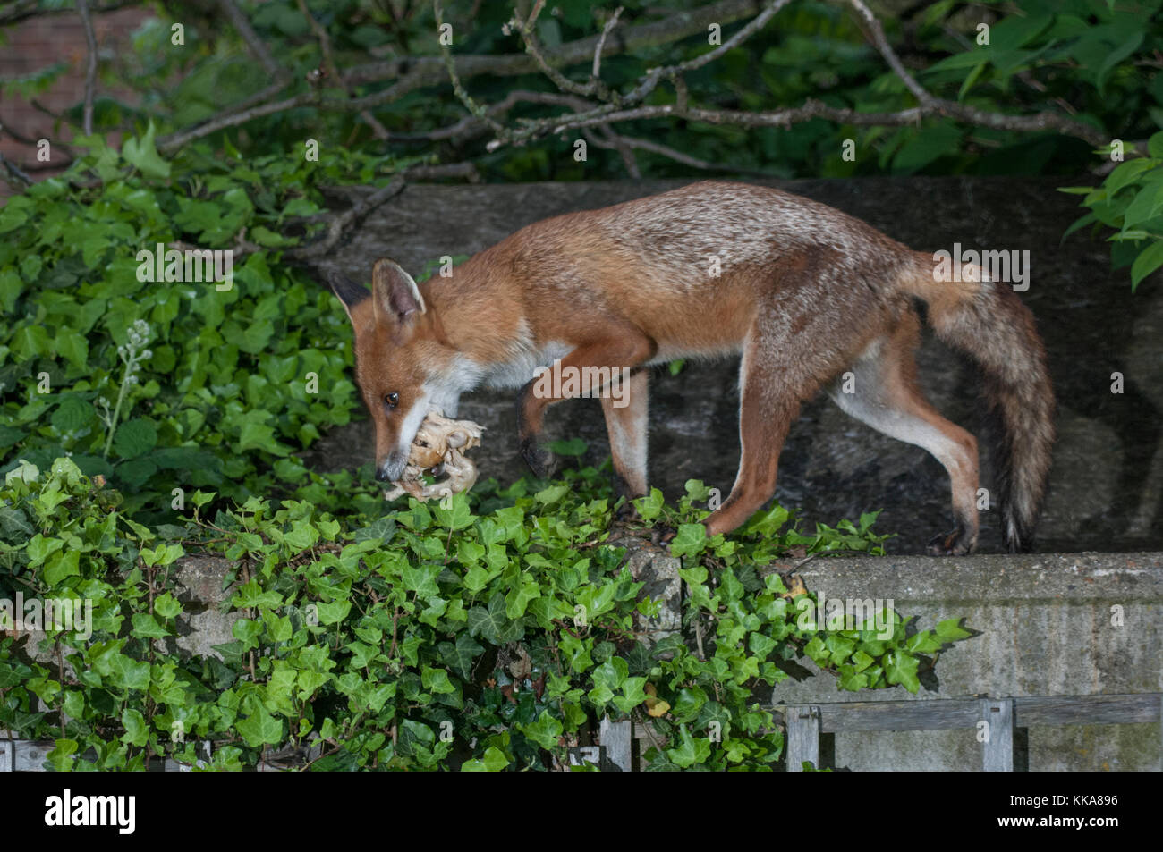 Red Fox, Vulpes vulpes, in a garden scavenging food scraps, London, United Kingdom - Stock Image