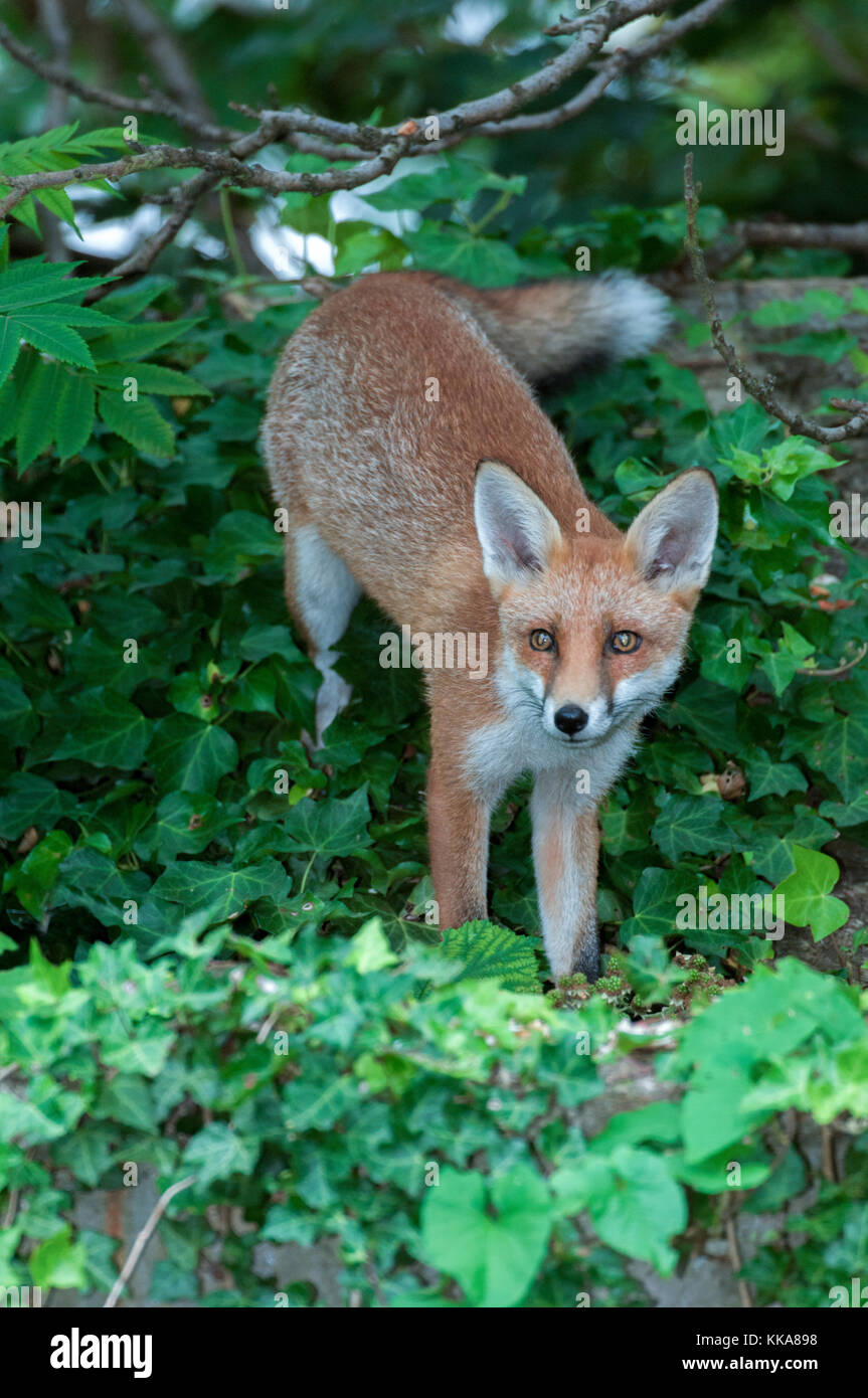 Red Fox, Vulpes vulpes, on garden shed roof in summer, London, United Kingdom - Stock Image
