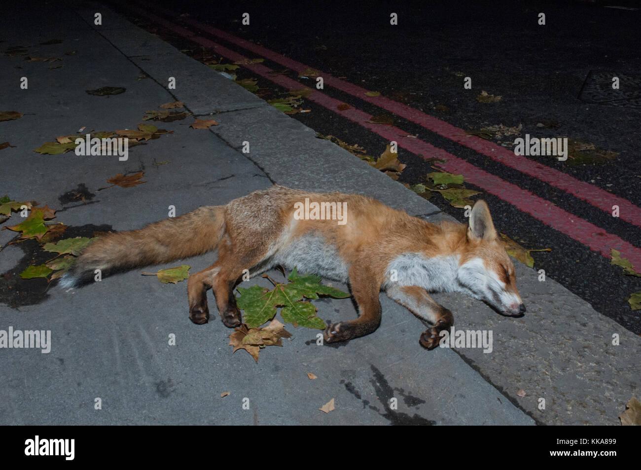 urban Red Fox, Vulpes vulpes, killed on road by car, London, United Kingdom - Stock Image