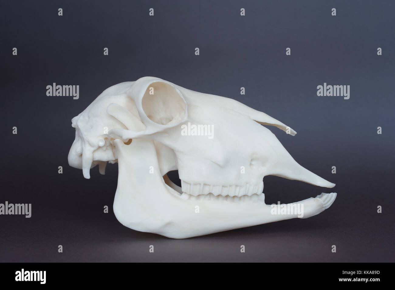 Incisor Teeth Stock Photos & Incisor Teeth Stock Images - Alamy