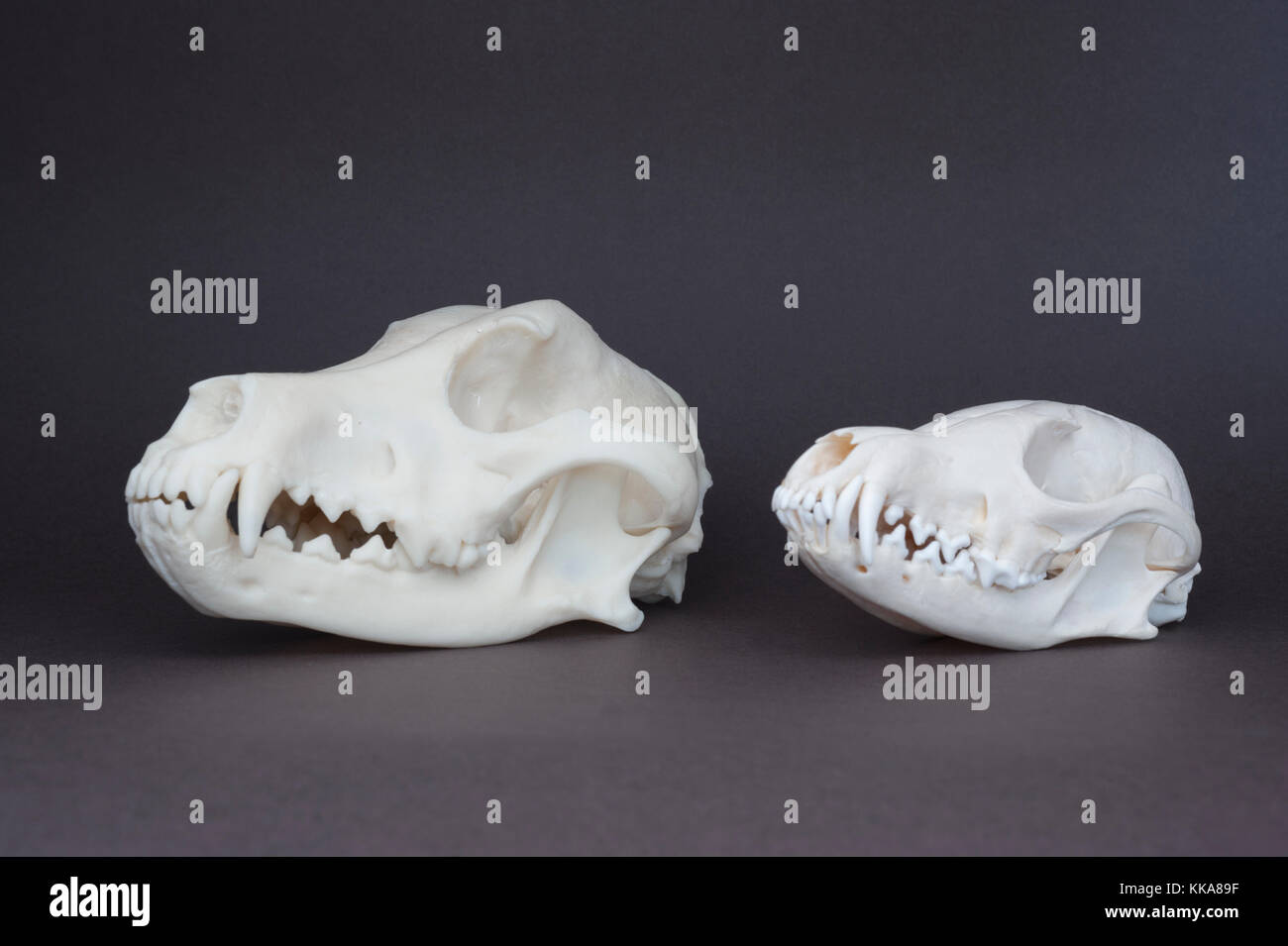 Red fox, (Vulpes vulpes), and domestic dog, (Canis familiaris), skull comparison - Stock Image