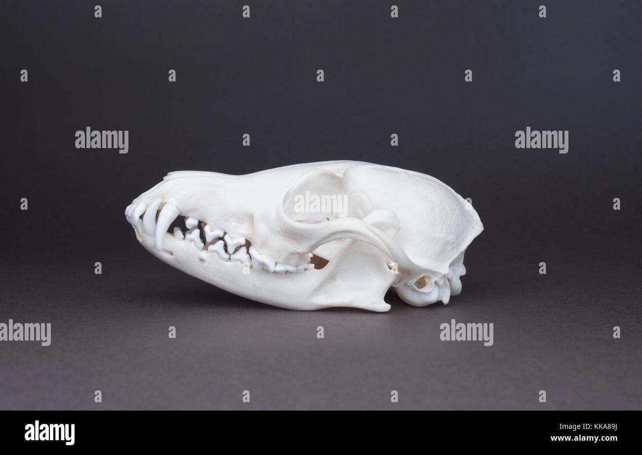 skull of Red fox, (Vulpes vulpes), skull,canine, incisor, carnassial and molar teeth - Stock Image