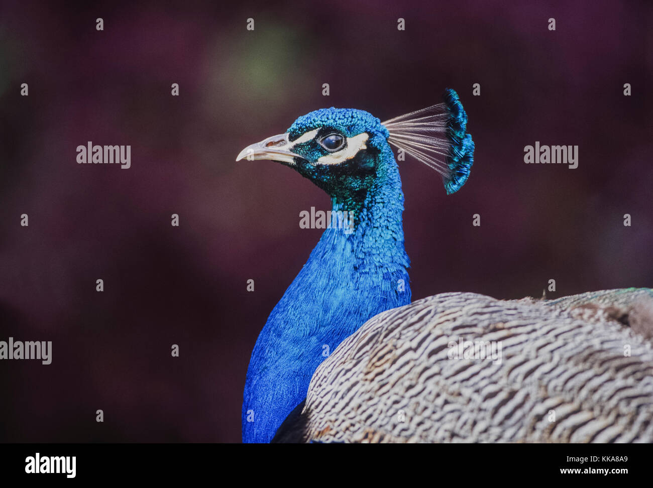 male Indian Peacock or Peafowl, (Pavo cristatus), Keoladeo Ghana National Park, Bharatpur, Rajasthan, India Stock Photo