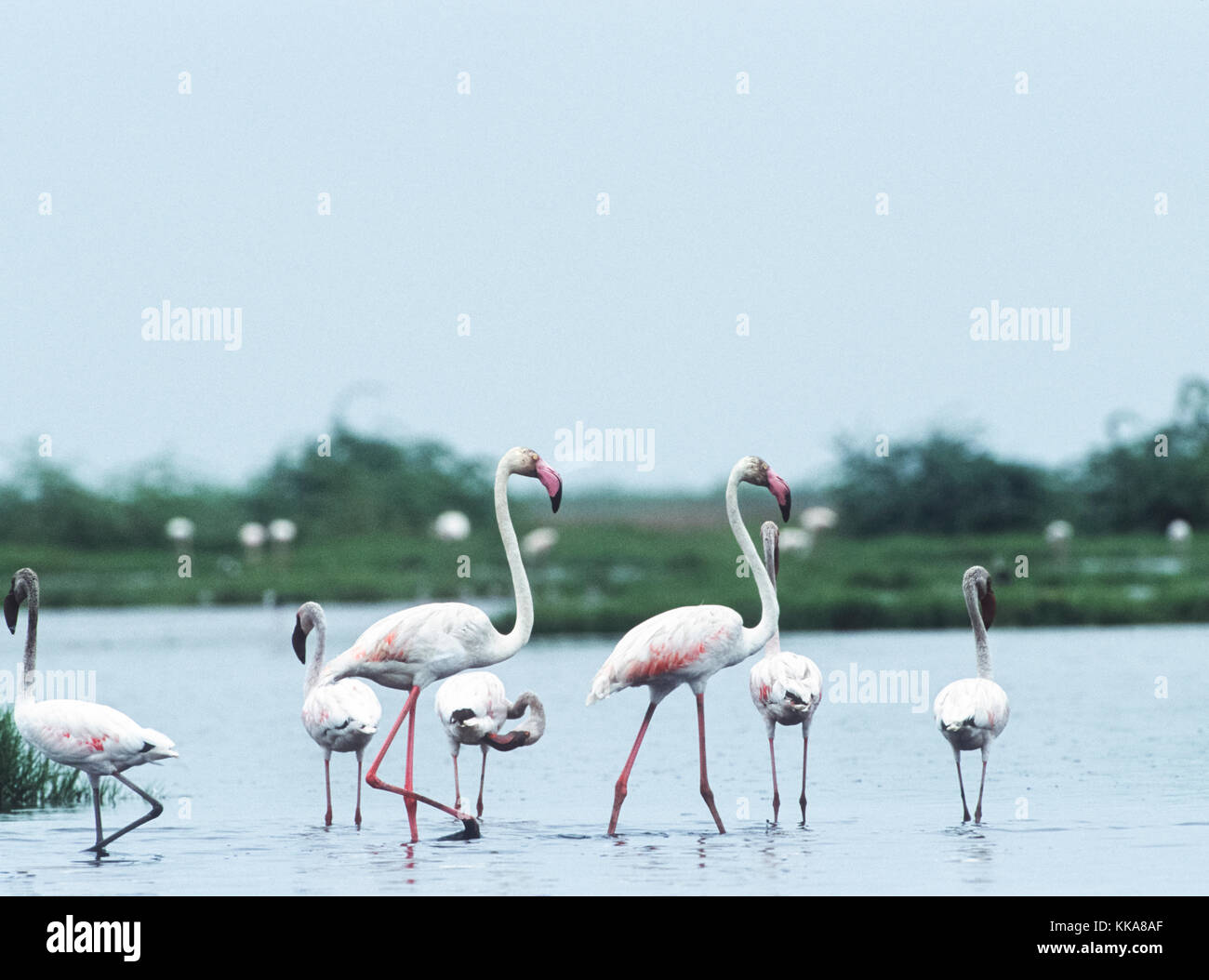 mixed group of Greater Flamingo,(Phoenicopterus roseus) and Lesser Flamingo, (Phoenicoparrus minor),   Gujarat, - Stock Image