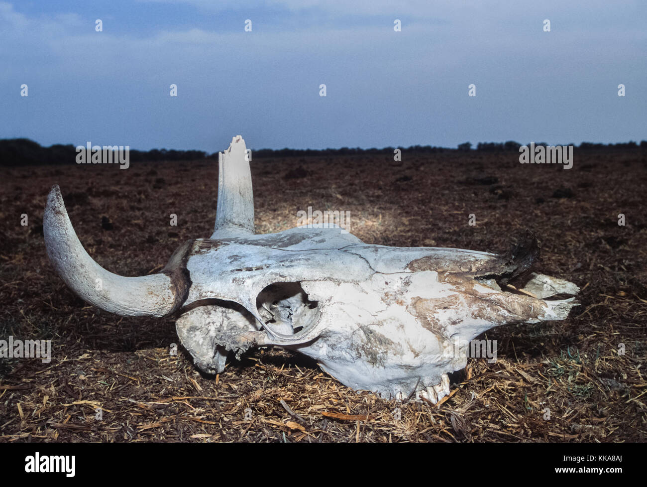 Cow skull, (Bos domesticus), drought victim, Gujarat, India - Stock Image