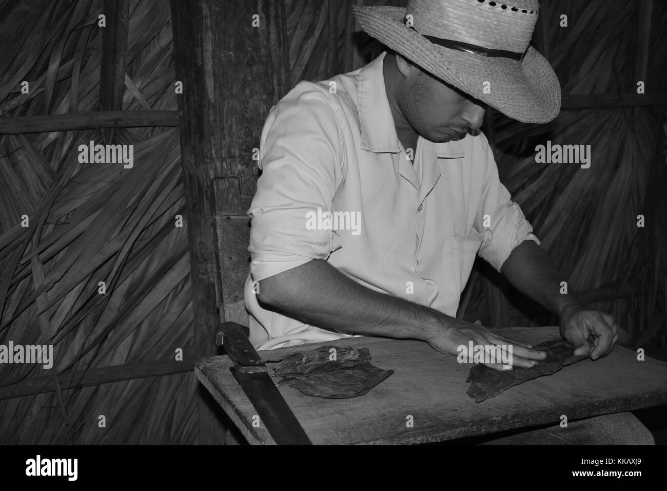 Tobacco farmer rolling cigar leaves - Stock Image