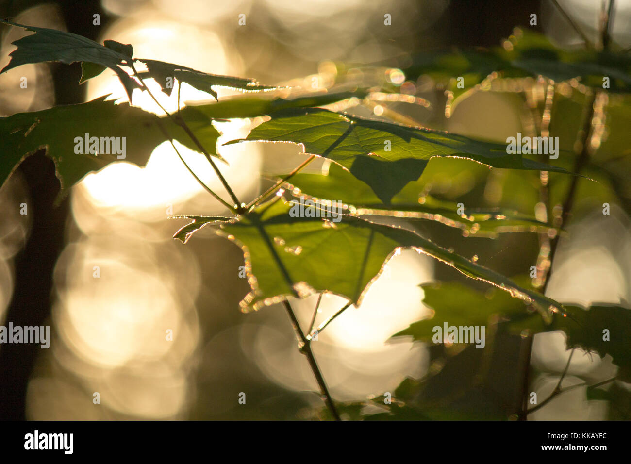 Forest leaves glow at sunset. - Stock Image