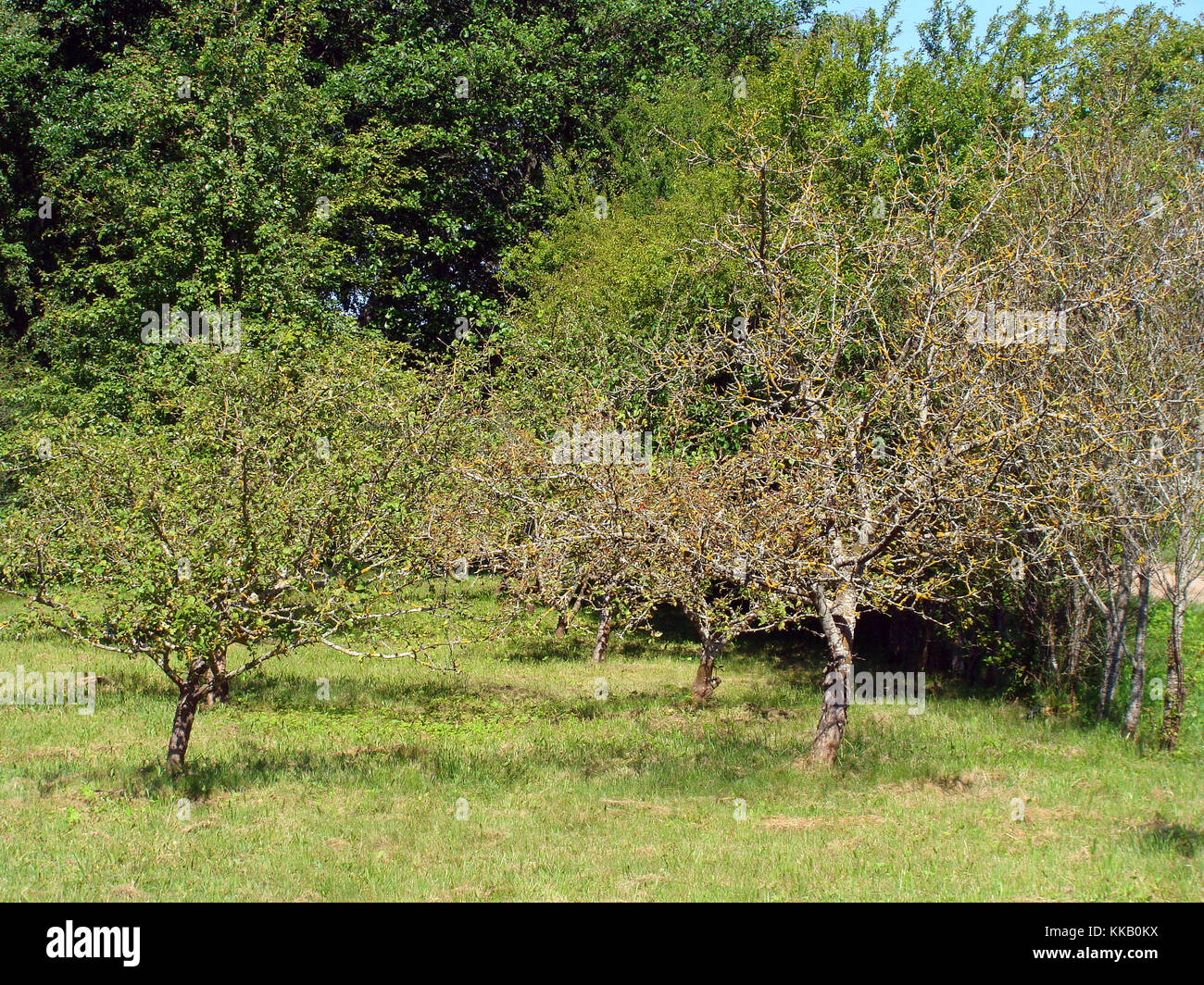 Apple tree lost all leaves from drought stress caused by fire blight or rodent damaged roots - Stock Image