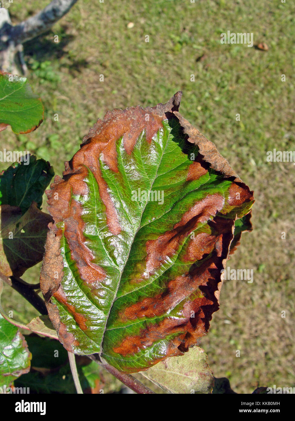 Apple tree leaves become brown from drought stress caused by fire blight or rodent damaged roots - Stock Image