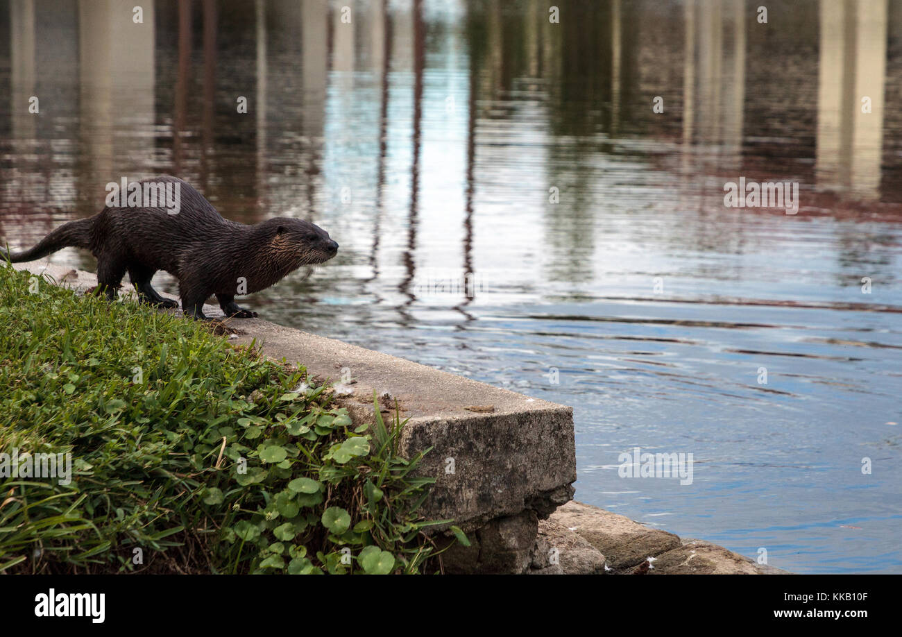 River Otter Lontra canadensis in a pond in Naples, Florida