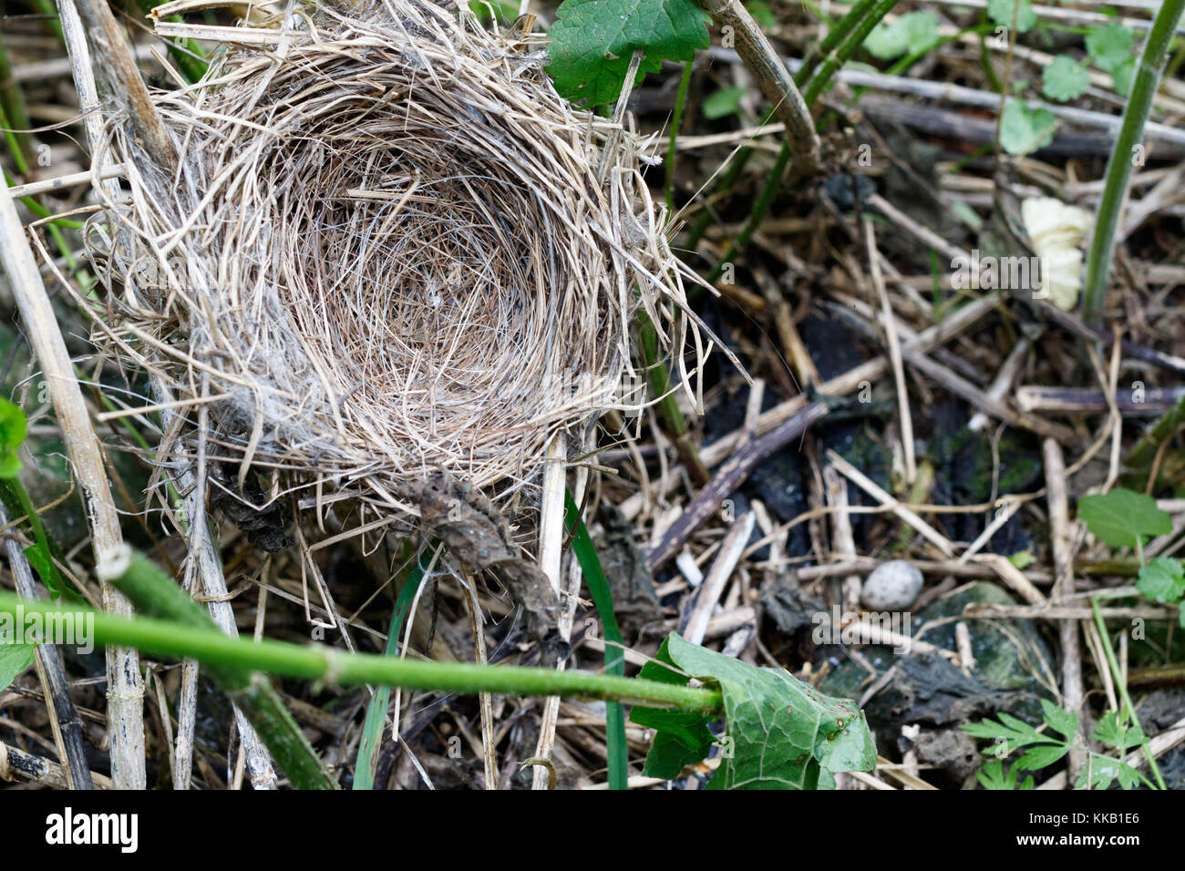Acrocephalus palustris. The nest of the Marsh Warbler in nature. Common Cuckoo (Cuculus canorus). Russia, the Ryazan - Stock Image