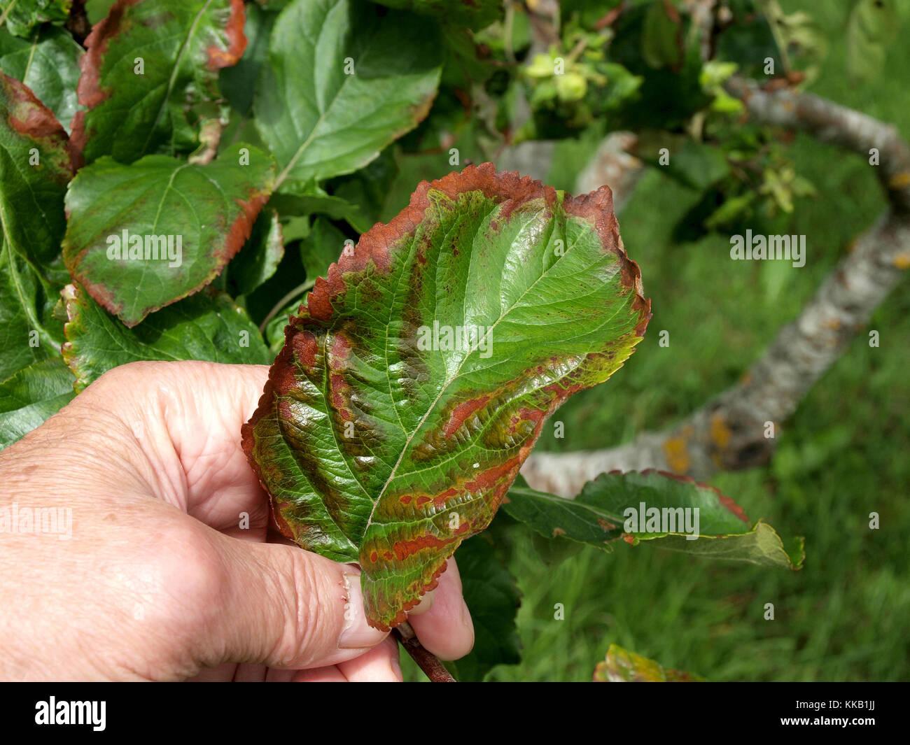 Apple Tree Leaf Disease Pictures