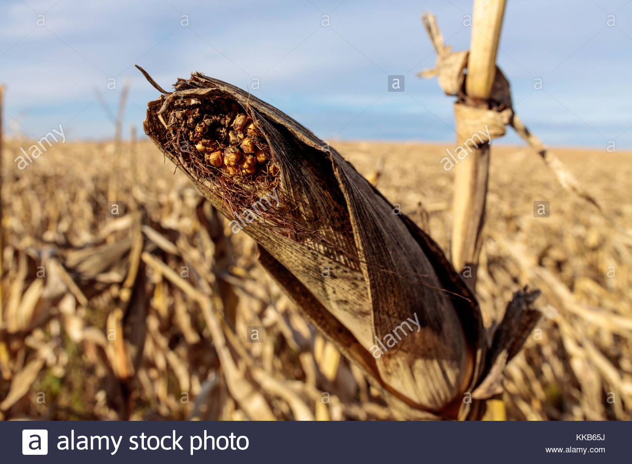 Ear of corn or maize in late fall on the Oak Ridges Moraine Ontario Canada - Stock Image