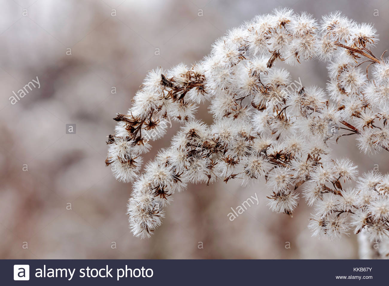 Goldenrod pappus a tuft of hairs on seed to aid in wind dispersal in autumn in Rouge National Urban Park Toronto - Stock Image
