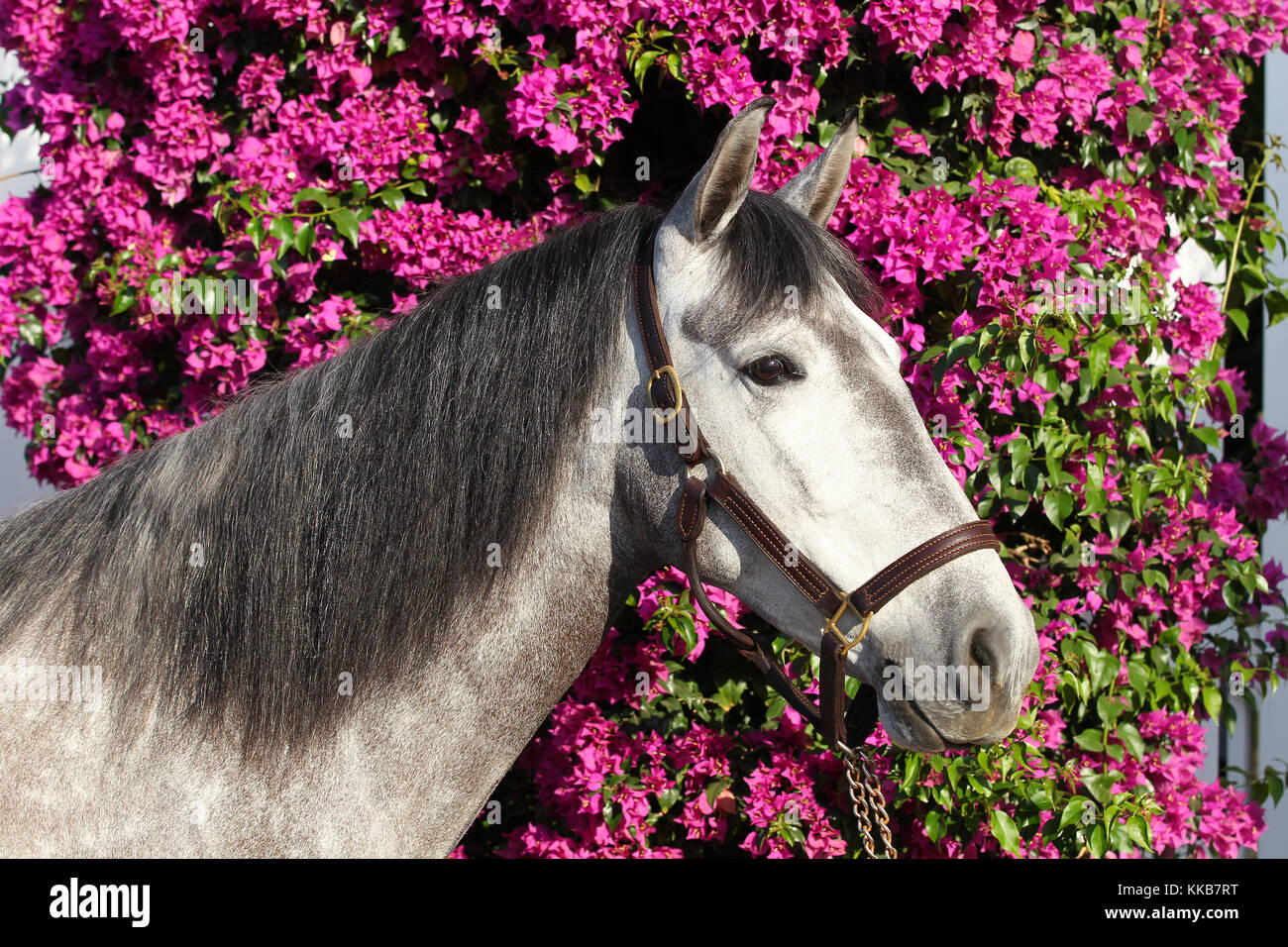 andalucian horse - Stock Image