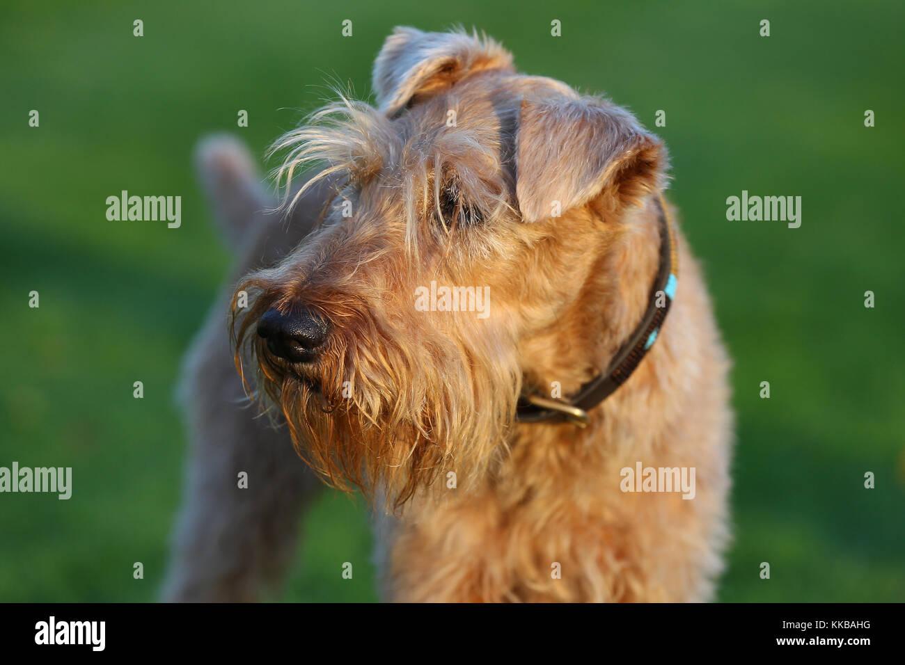 Terrier - Irish Irish Terrier Irish Red Terrier - Stock Image