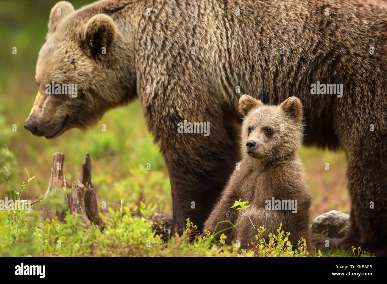 Cute little Eurasian brown bear cub sitting by the mother for safety and comfort, Finland - Stock Image
