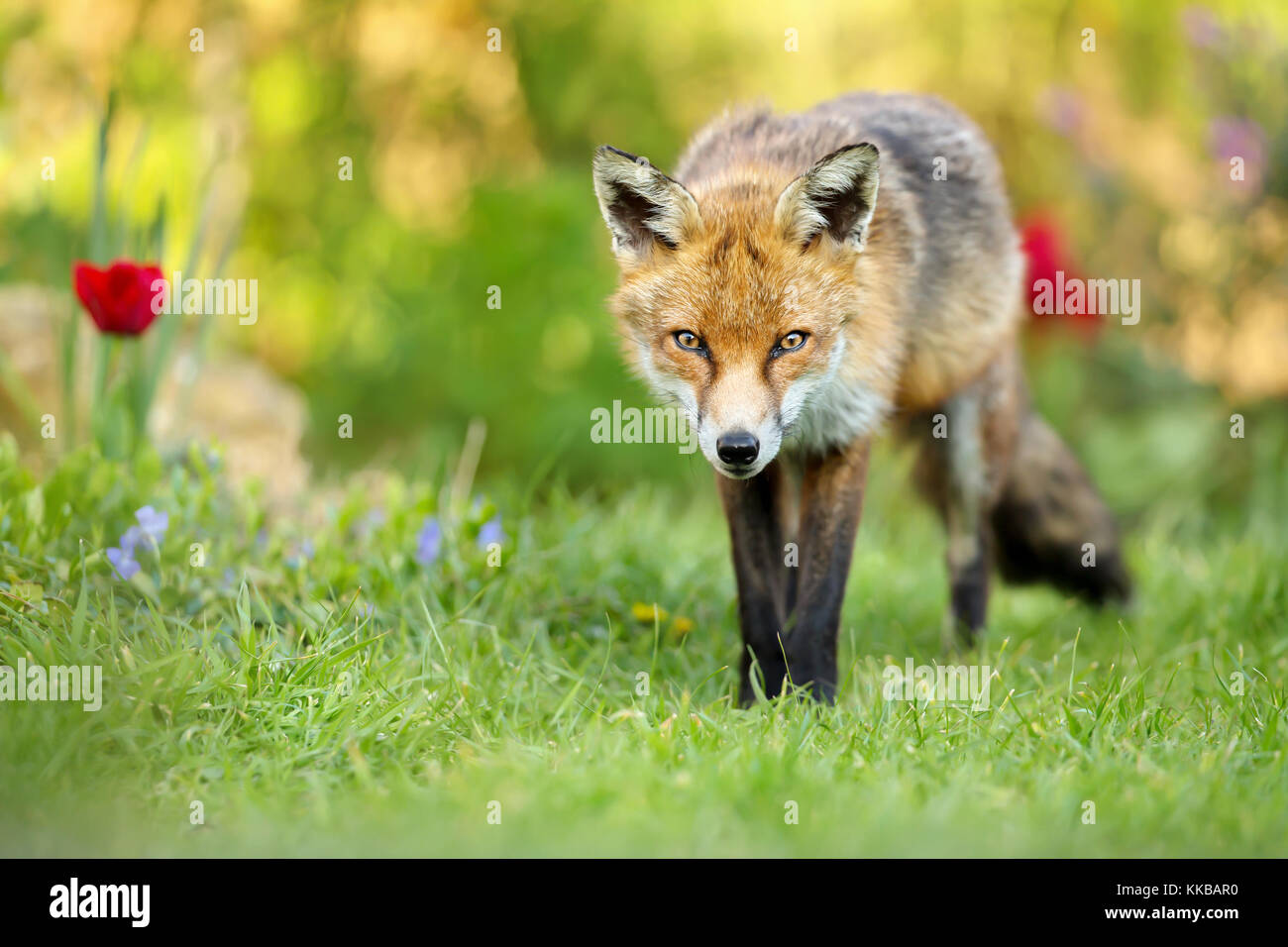 Close up of red fox standing on the grass in the garden with spring flowers, UK. - Stock Image