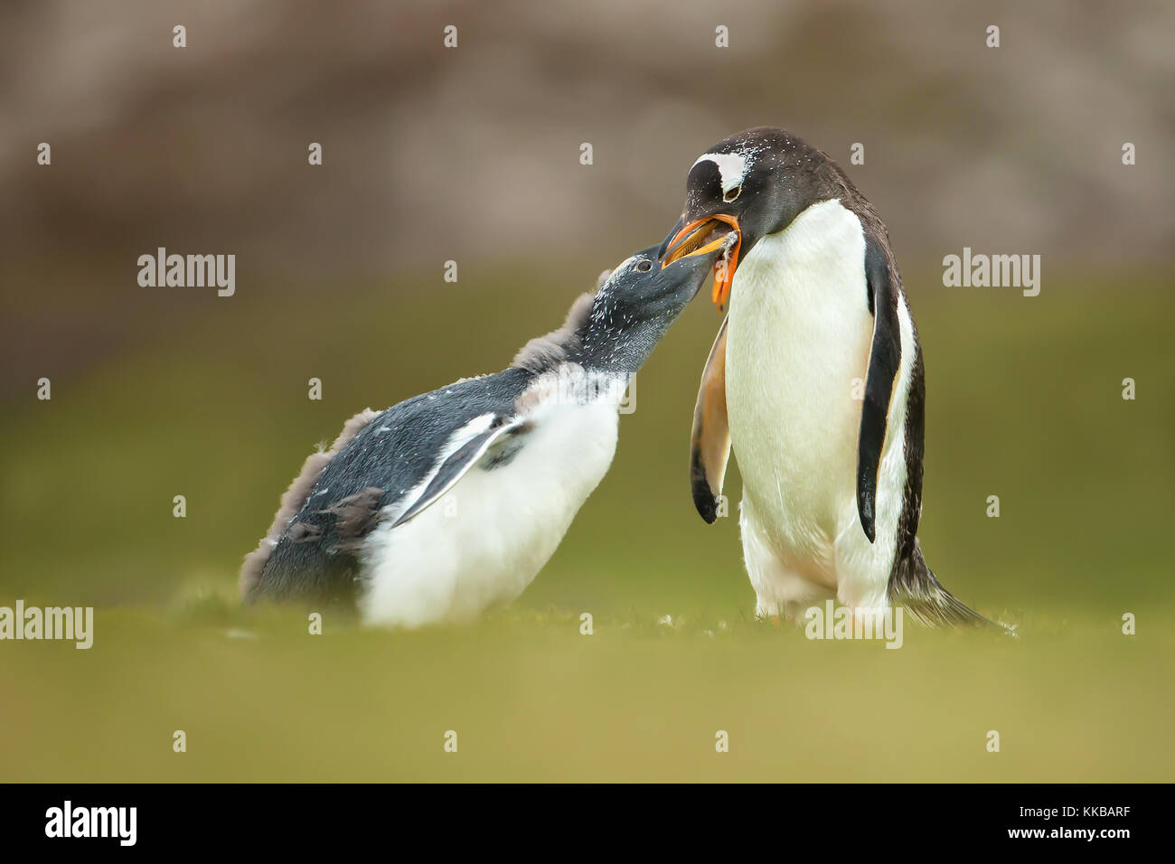 Isolated Adult gentoo penguin feeding a young molting chick in the Falkland islands - Stock Image