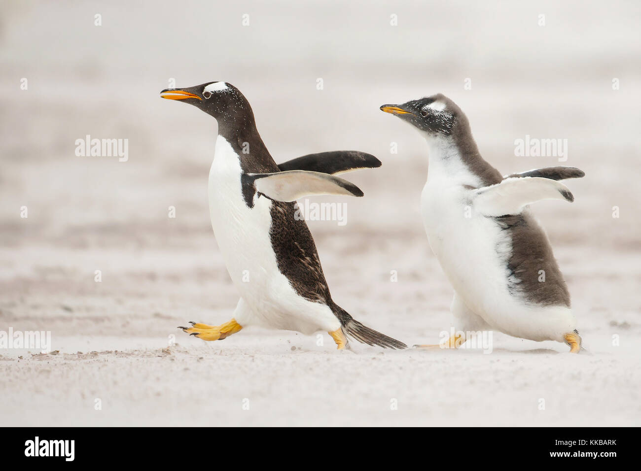 One young gentoo penguin running after the parent and asking for food - Stock Image