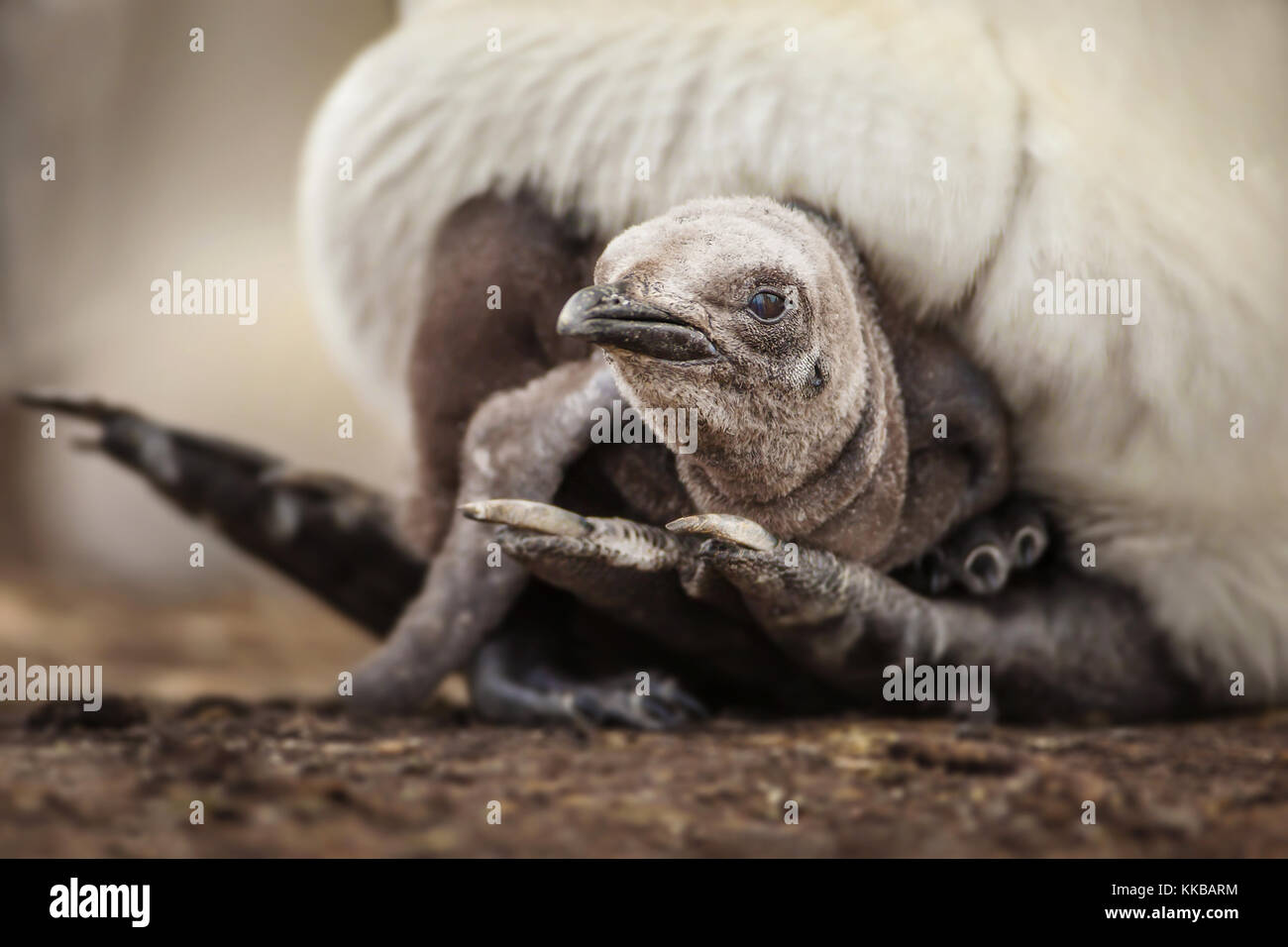 Young king penguin chick laying under the parent's feathers and seeking for warmth and comfort - Stock Image