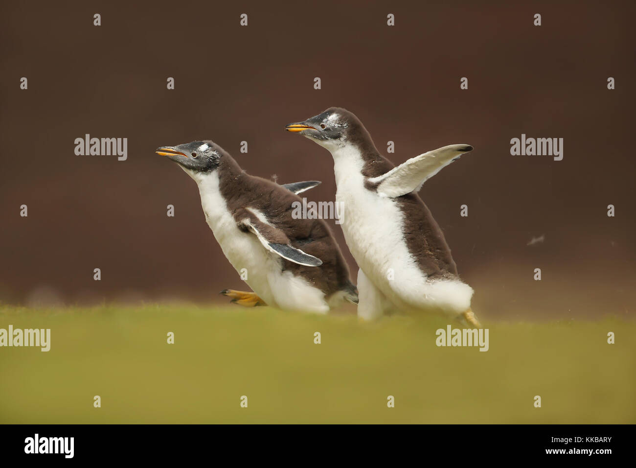 Two young gentoo penguins chasing each other, Falkland islands - Stock Image