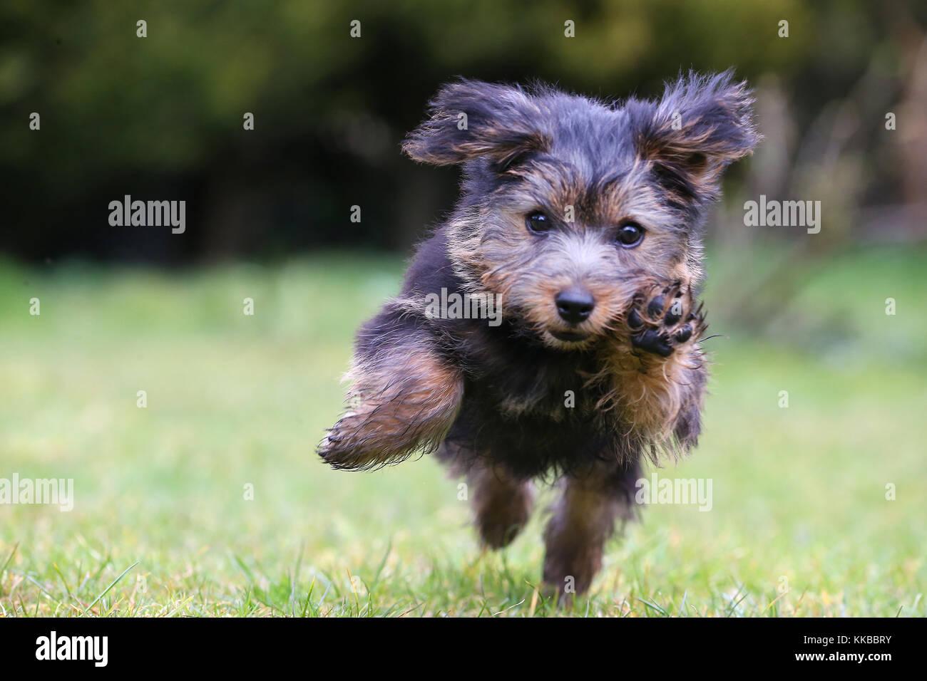 Terrier - Norfolk Norfolk Terrier Puppy - Stock Image