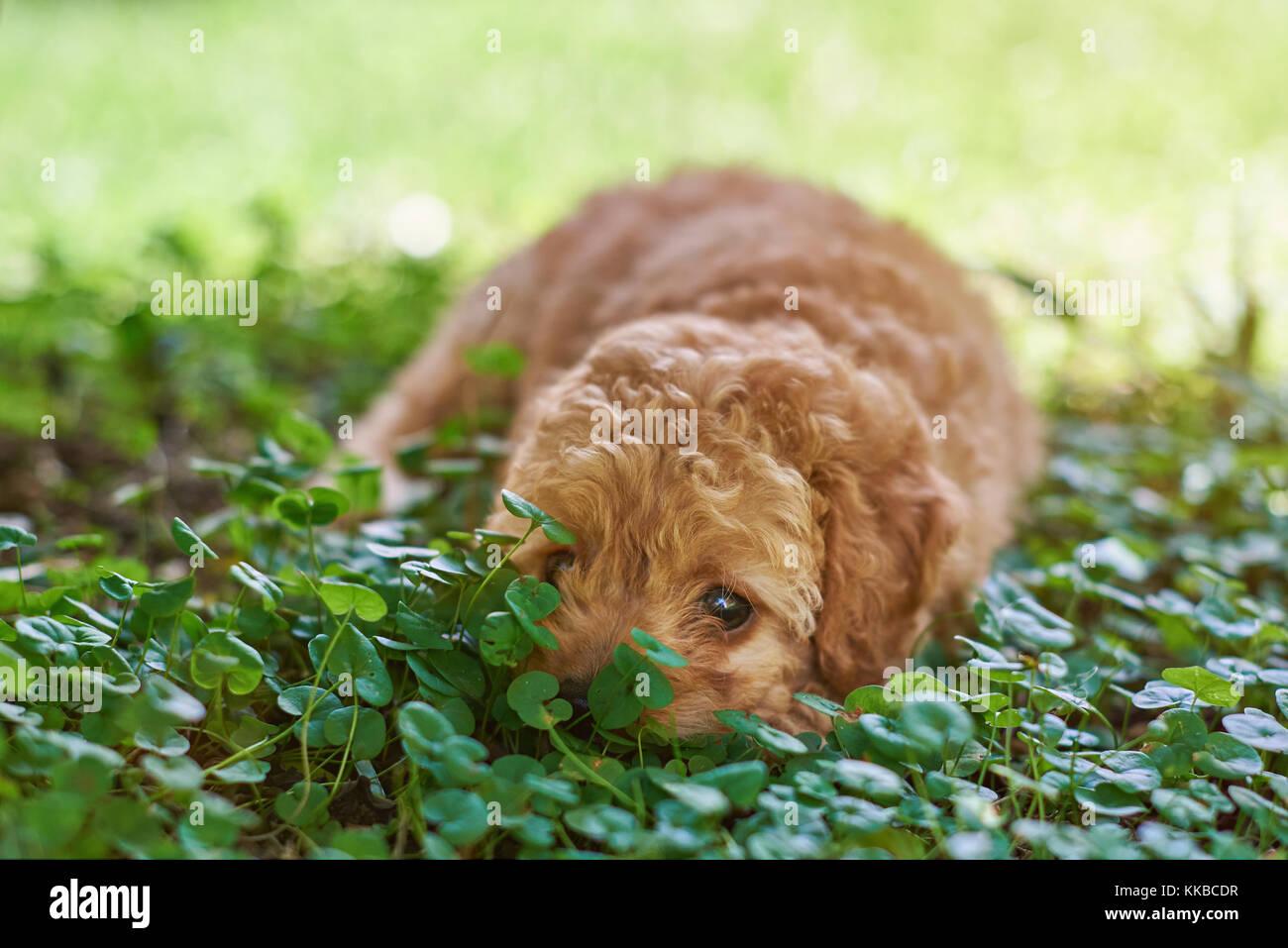 Chocolate Poodle Garden Stock Photos Chocolate Poodle Garden Stock