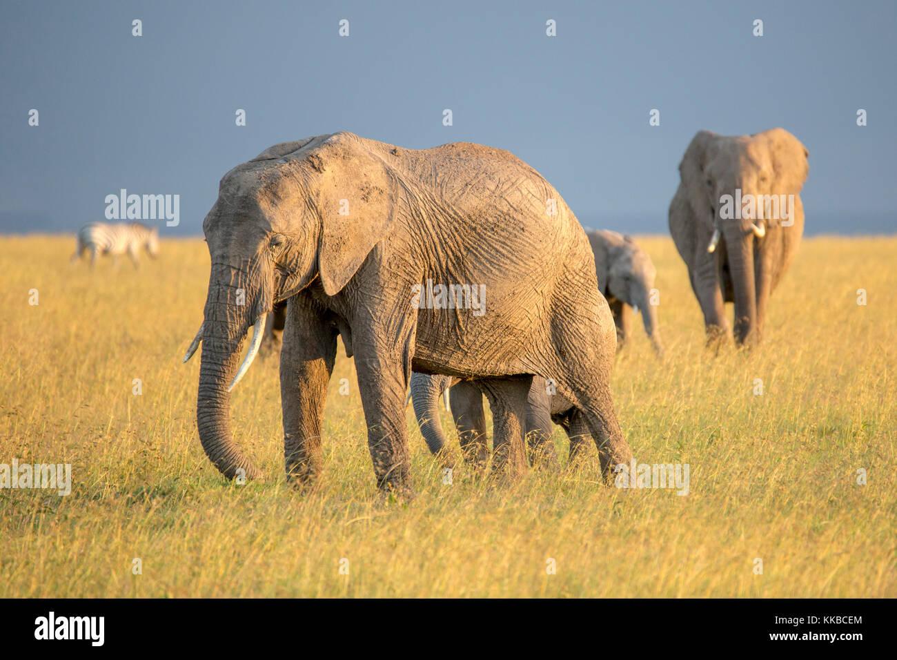 family of elephants walking across open grassland, wide format, Laikipia Kenya Africa - Stock Image