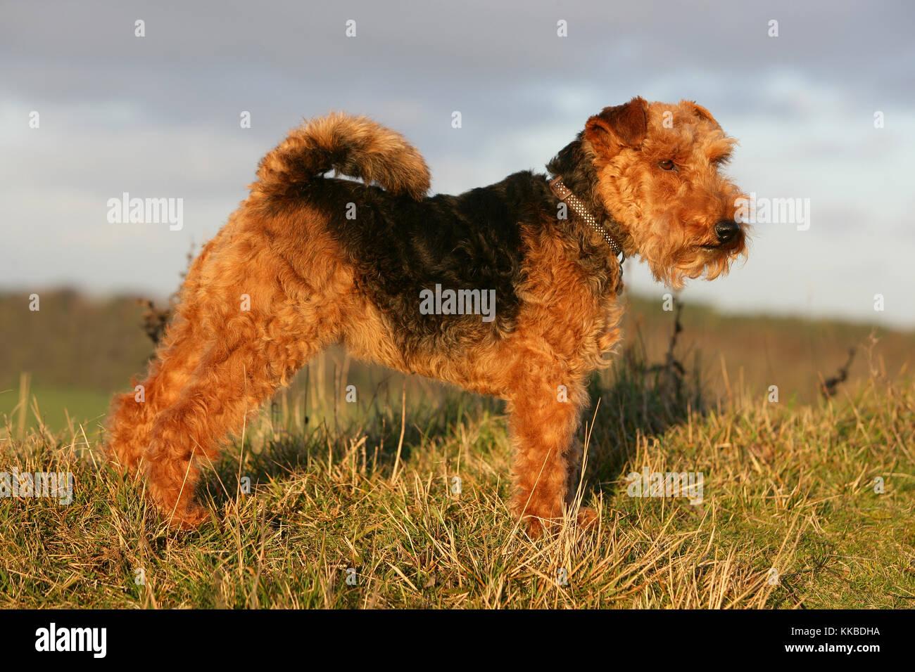 welsh terrier - Stock Image