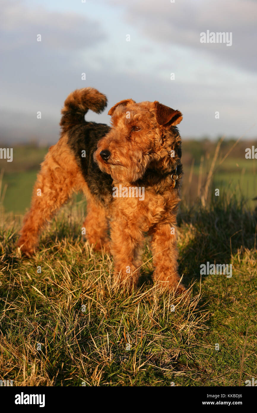 Terrier - Welsh Welsh Terrier Standing - Stock Image