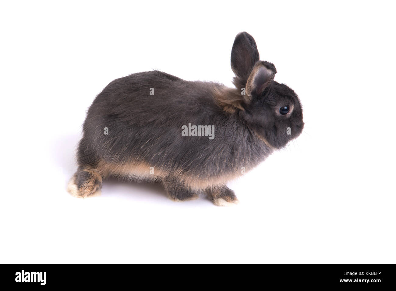 Side view of two tone color netherland dwarf rabbit on white background. - Stock Image