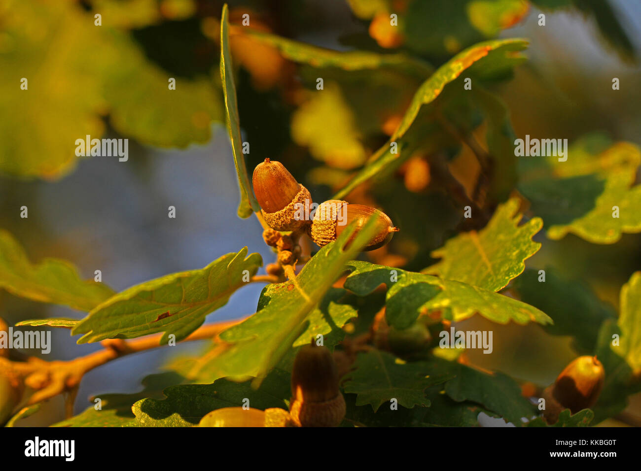 two acorns or oak nuts Latin balanus on an Italian oak tree in autumn  in Italy Latin quercus UK national trail - Stock Image