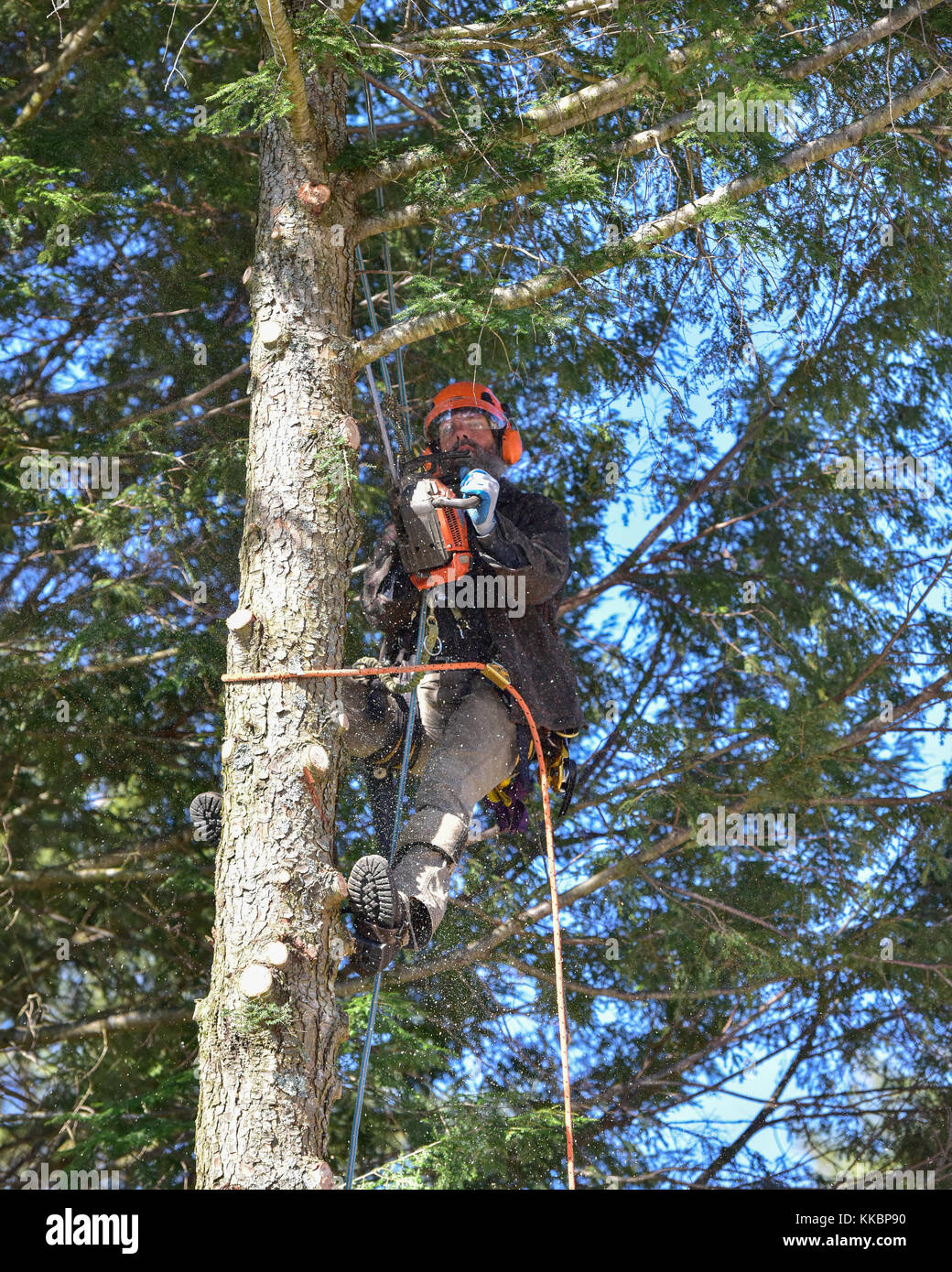 Professional arborist climbing a large hemlock tree and cutting off branches. - Stock Image