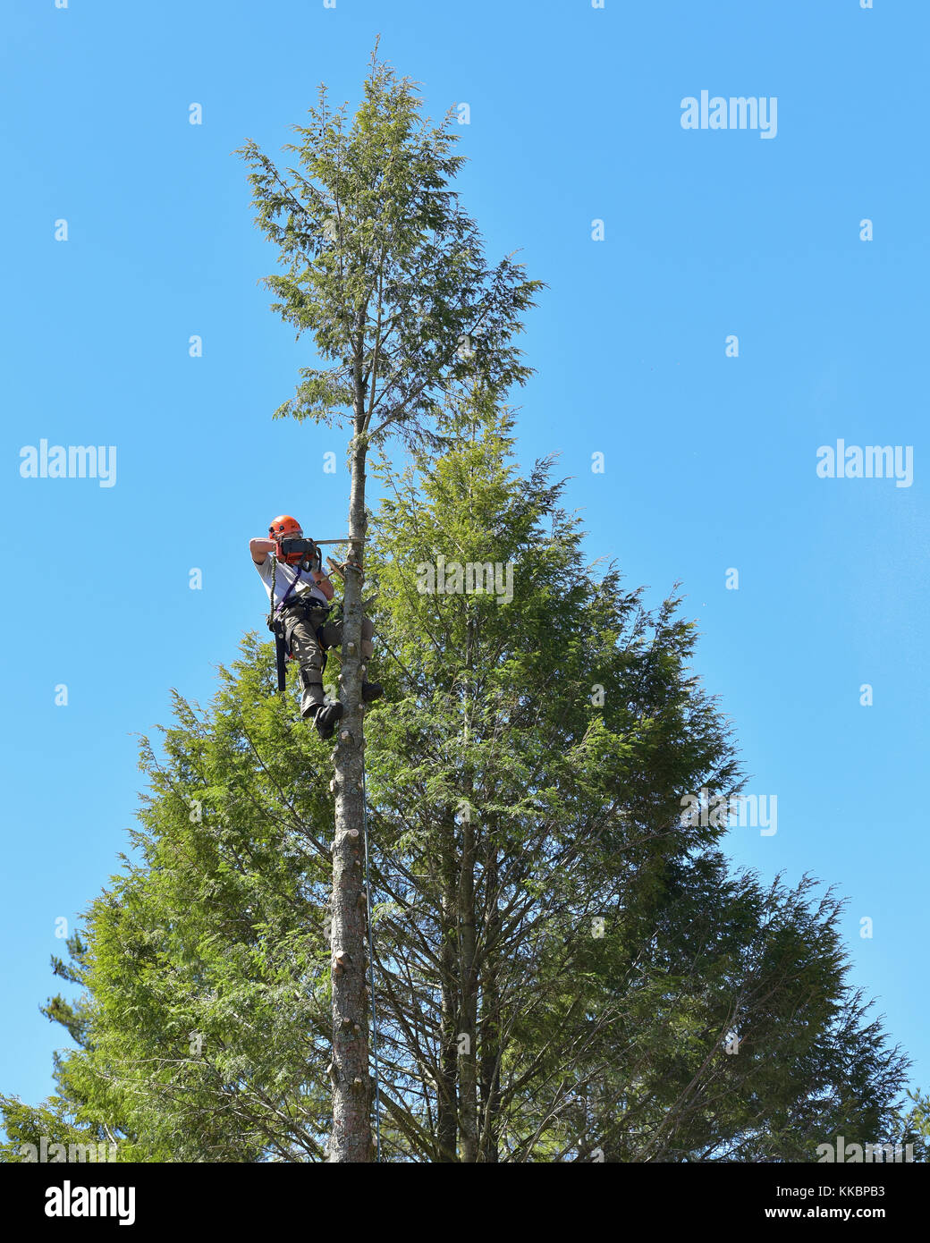 Professional arborist climbing a tall hemlock tree and cutting off the top. - Stock Image