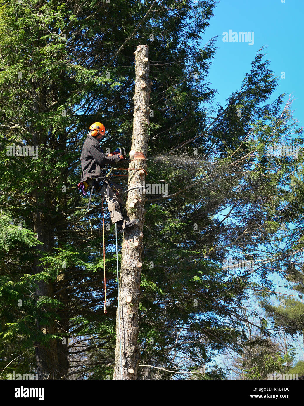 Professional arborist climbing a tall hemlock tree and cutting the bare trunk into sections. - Stock Image