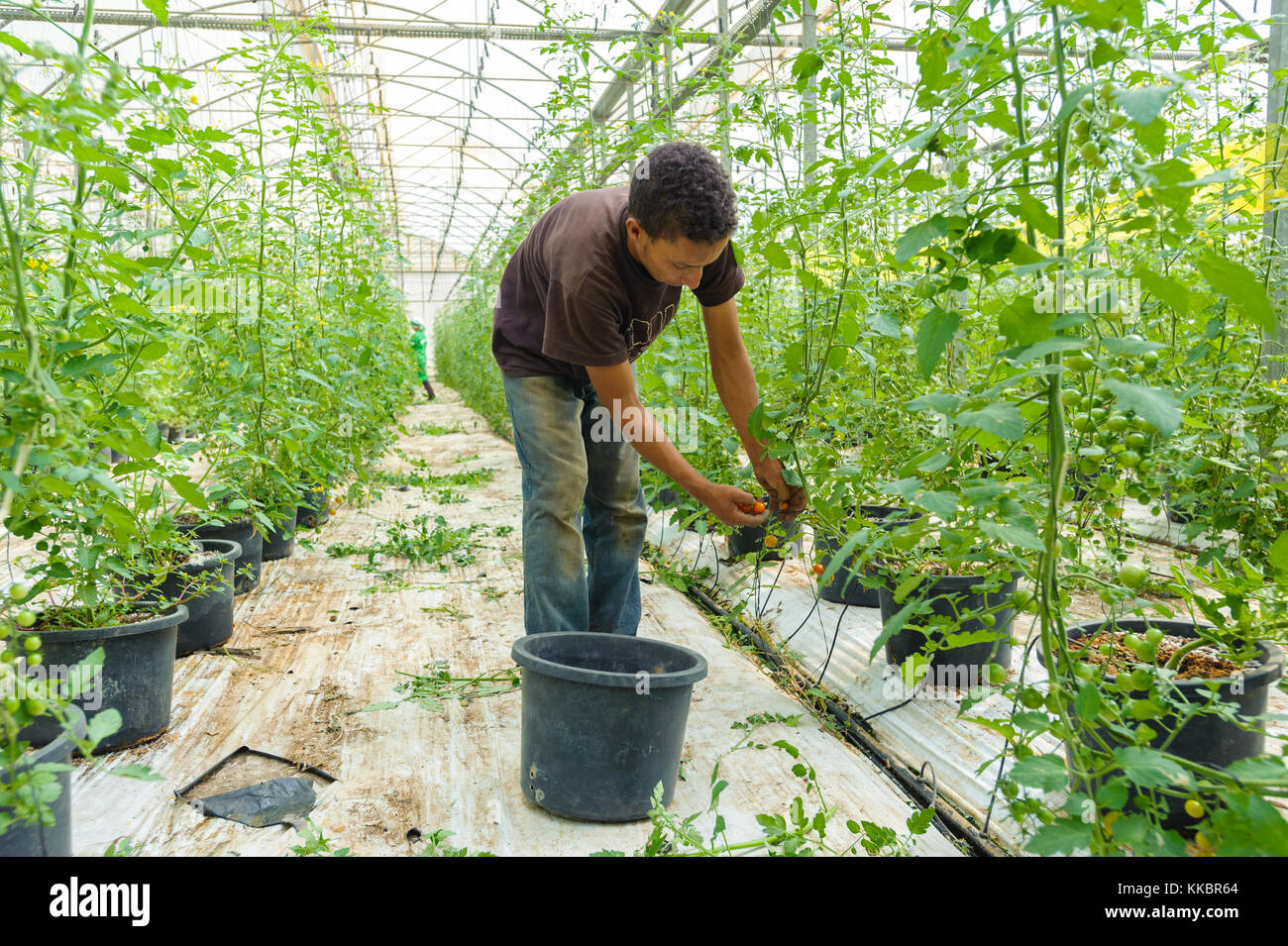 Young man collecting cherry tomato in a greenhouse - Stock Image
