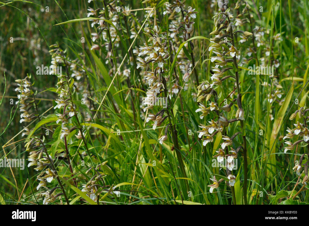 Marsh Helleborine ' Epipactis palustris' Flowers July August, in wet marshy areas ,Dry Sandford, Oxfordshire, - Stock Image