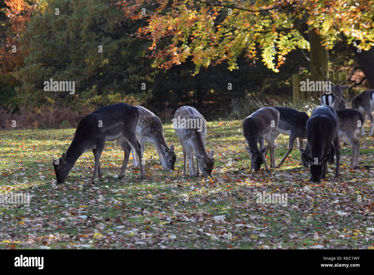 Dunham Massey Deer in Autumn Grazing in Autumn Sun with Red Orange Leaves Foliage - Stock Image