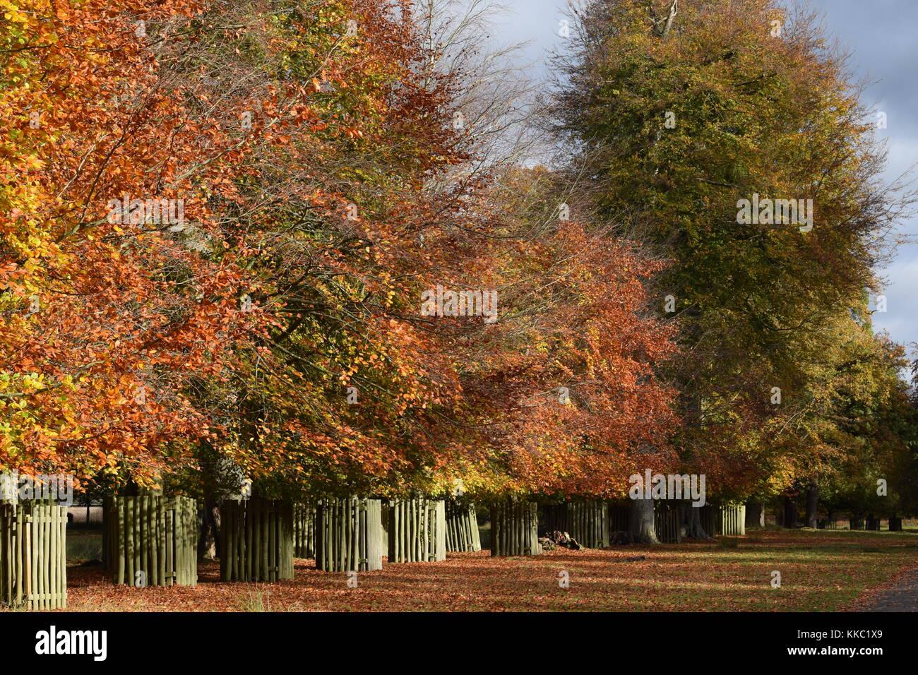 Dunham Massey Orange Autumn Leaves on Trees - Stock Image