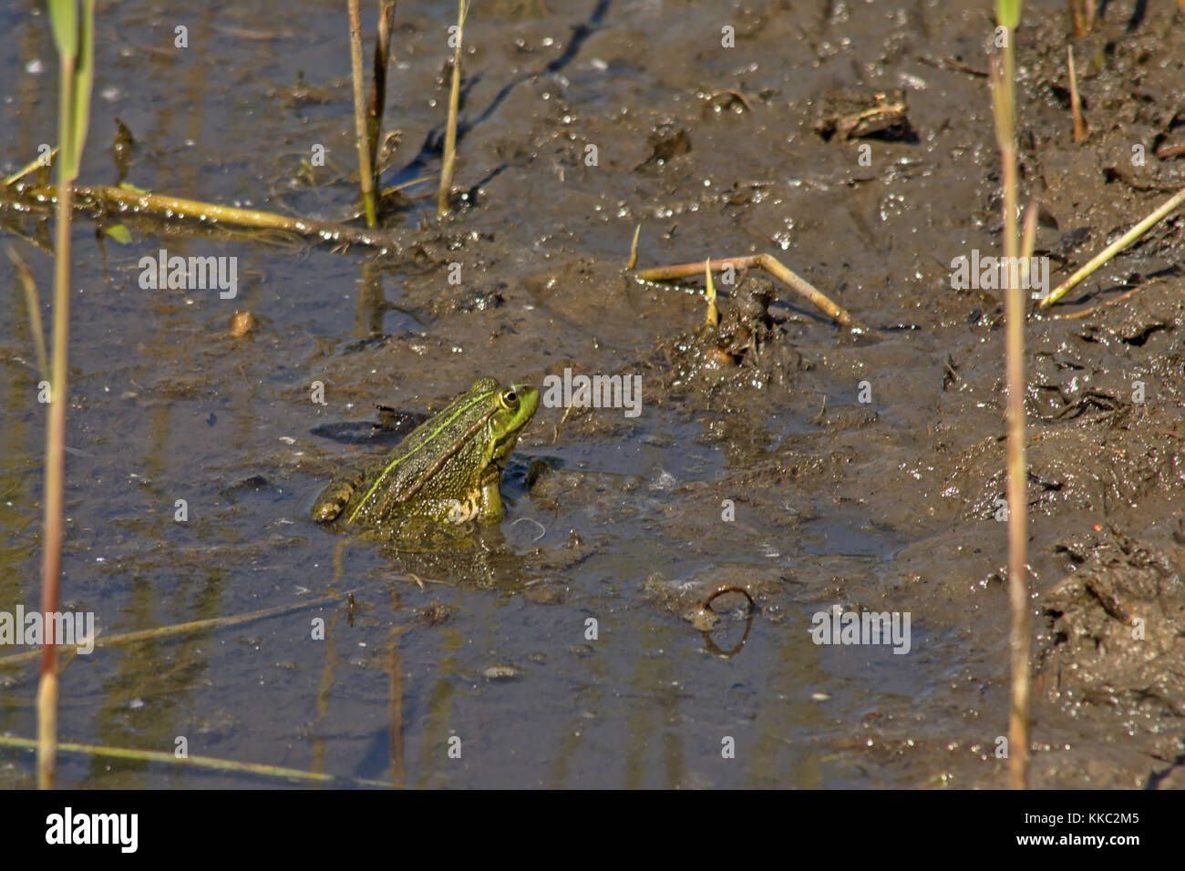 Green frog with big eyes sitting in a pond in Bourgoyen nature reserve, Ghent, flanders - Anura - Stock Image