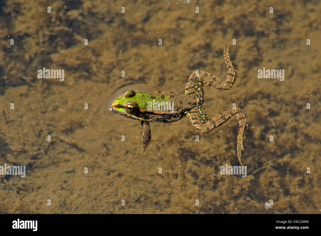 Frog swimming in the pond with legs wide open, view from above Anura - Stock Image