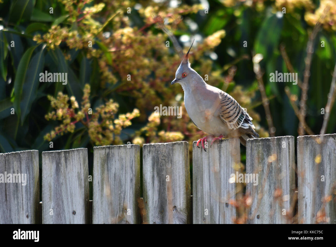 An Australian Crested Pigeon on a wooden fence - Stock Image